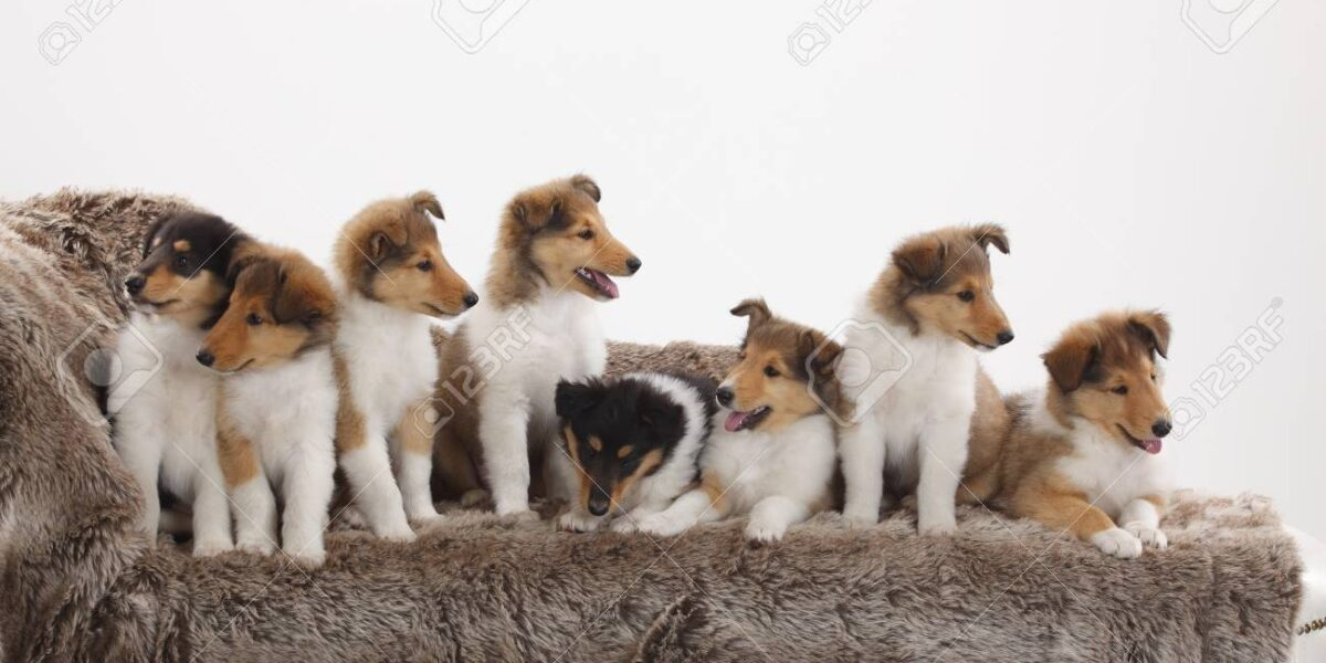 rough-collie-puppies-for-sale-5ac3841be4080
